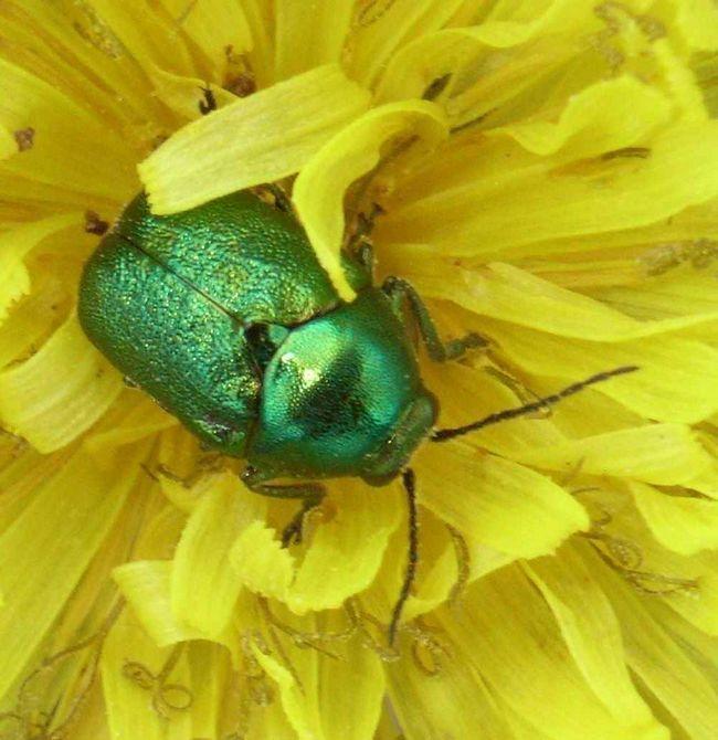 Niektorí chrobáky sú používané na reguláciu burín.