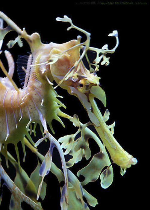 Lisnato more zmaj, more ili Pegasus (lat. Phycodurus Eques)