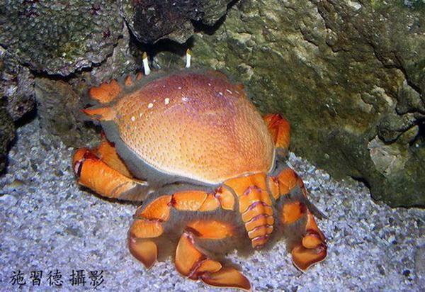 Žaba rakova (Ključ rakovi)