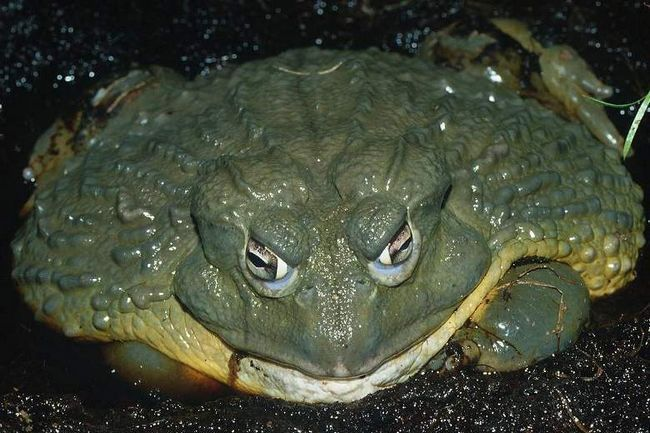 Лягушка-голиаф (Conraua goliath).