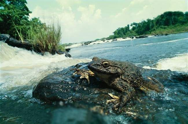 Этот вид лягушек обитает в обогащенной кислородом воде.
