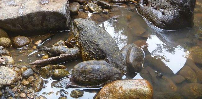 Эти лягушки считаются чистыми животными, их мясо сладкое на вкус, кроме того, оно считается полезным для беременных женщин.