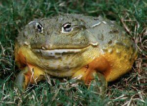 Rana goliaph goliath žaba