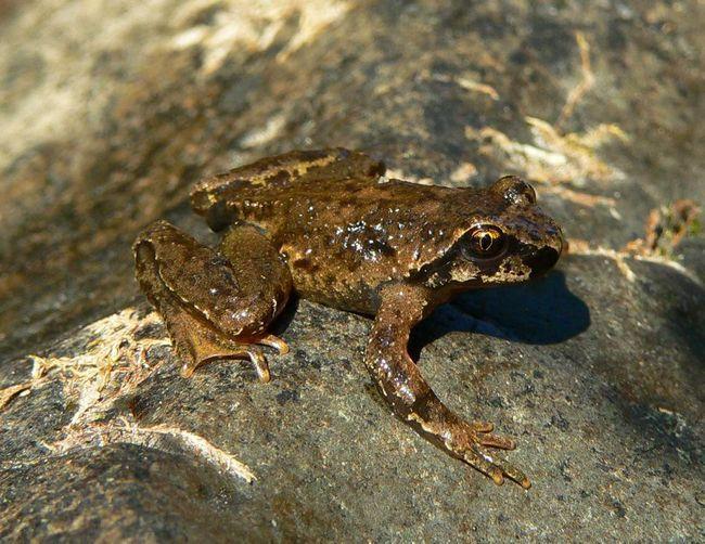 Tailed žaba (Ascaphus).