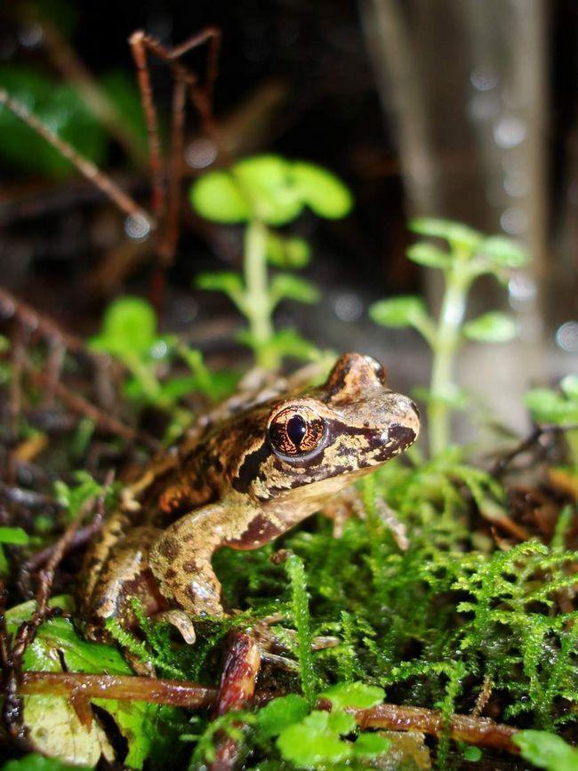 Rep djeluje kao seksualni organ u žabe.
