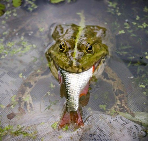 Frog potvrdil polievka Černigov rybár
