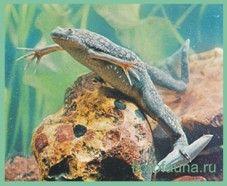 Лягушкашпорцевая гладкая / xenopus laevis