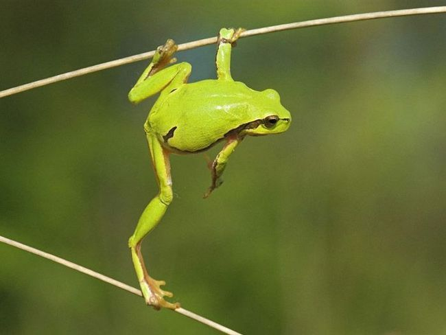 Лягушки: виды, описание, фото