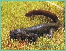 Лягушкозубсемиреченский / ranodon sibiricus