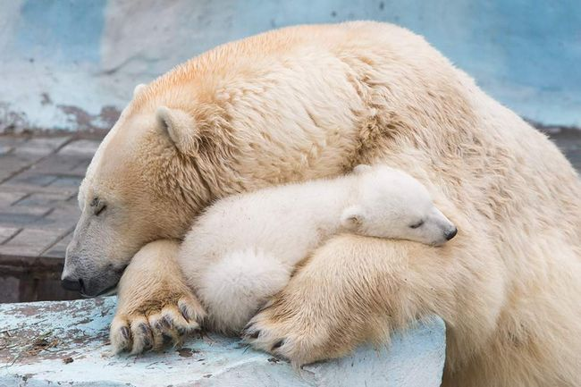 Členové zachytil video ledního medvěda.