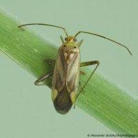 Vojtěška bug
