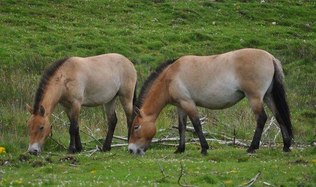 Kone Przewalského (Equus przewalskii)