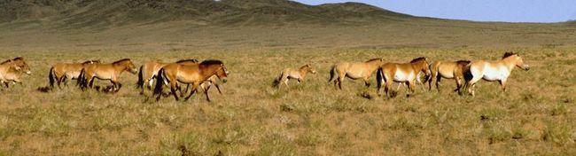 Stádo koní Przewalského