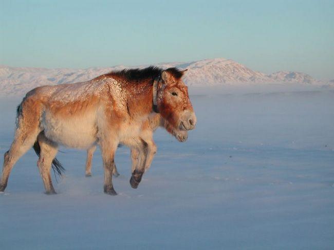 Kôň Przewalského blúdiť vo fujavici v stepi