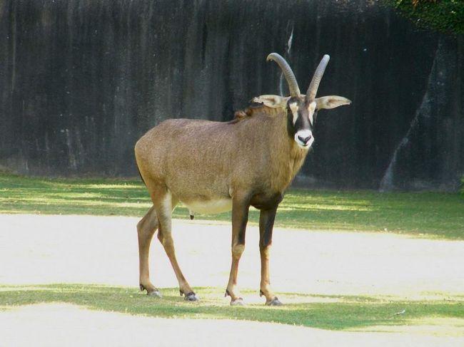 Лошадиная антилопа (Hippotragus equinus).