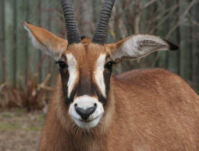 Лошадиные антилопы - стадные животные.