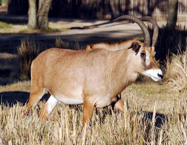 Удар такой антилопы может нанести серьезный вред.