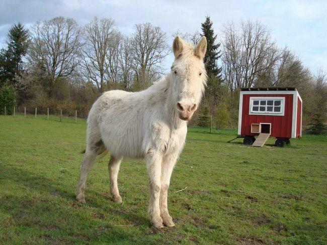 Лошаки являются бесплодными в большинстве случаев.