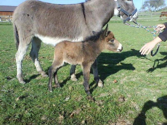 Внешне лошак мало чем отличается от осла.