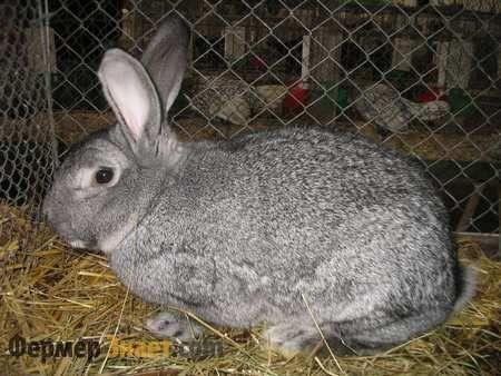 Особенности кролика шиншилловой породы