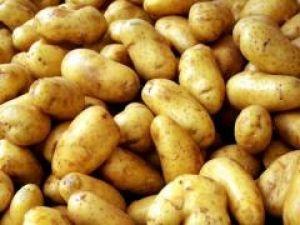 Картофель сорта «Лидер» не боится фитофтороза