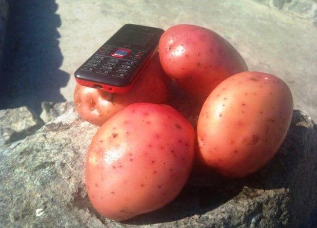 Kartofel`_aroza