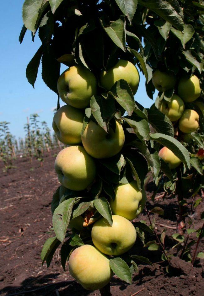 Grade stubasta jabuka
