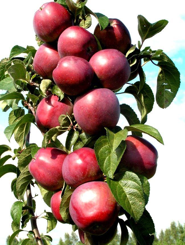 Stubasta sorta jabuke