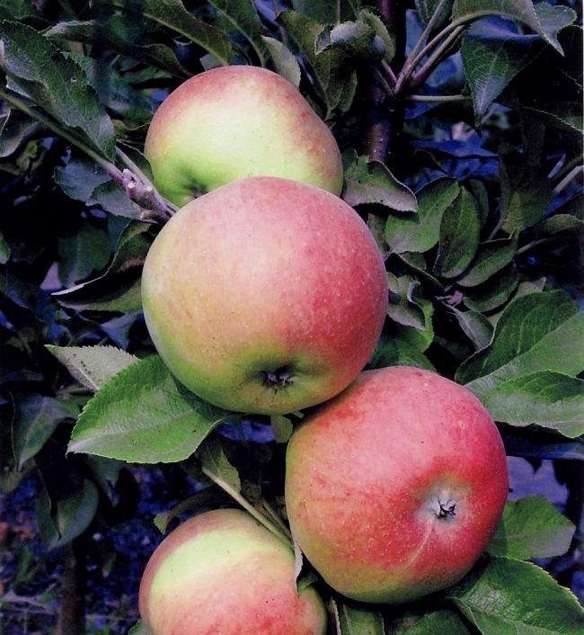 Stubasta sorte jabuka