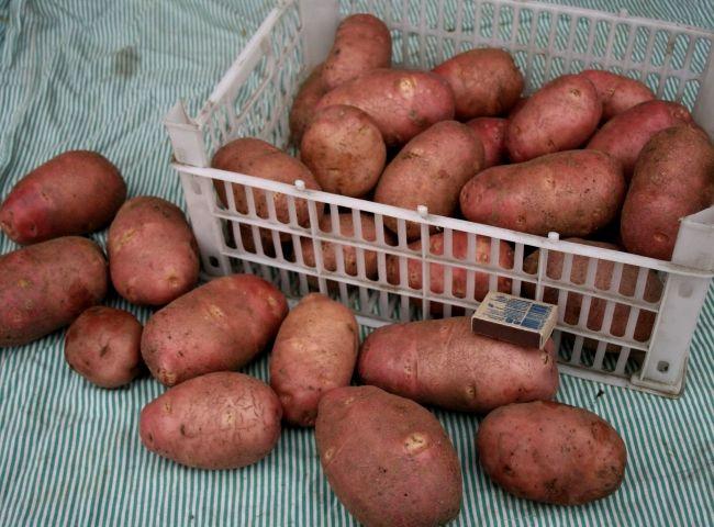 Сорт картофеля «Ред Скарлет»