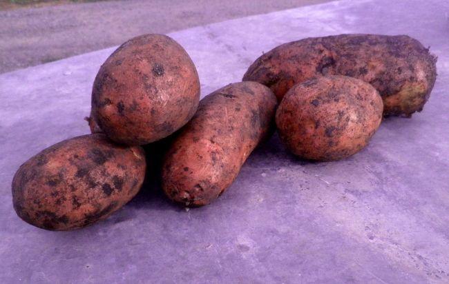 Сорт картофеля «Розара»