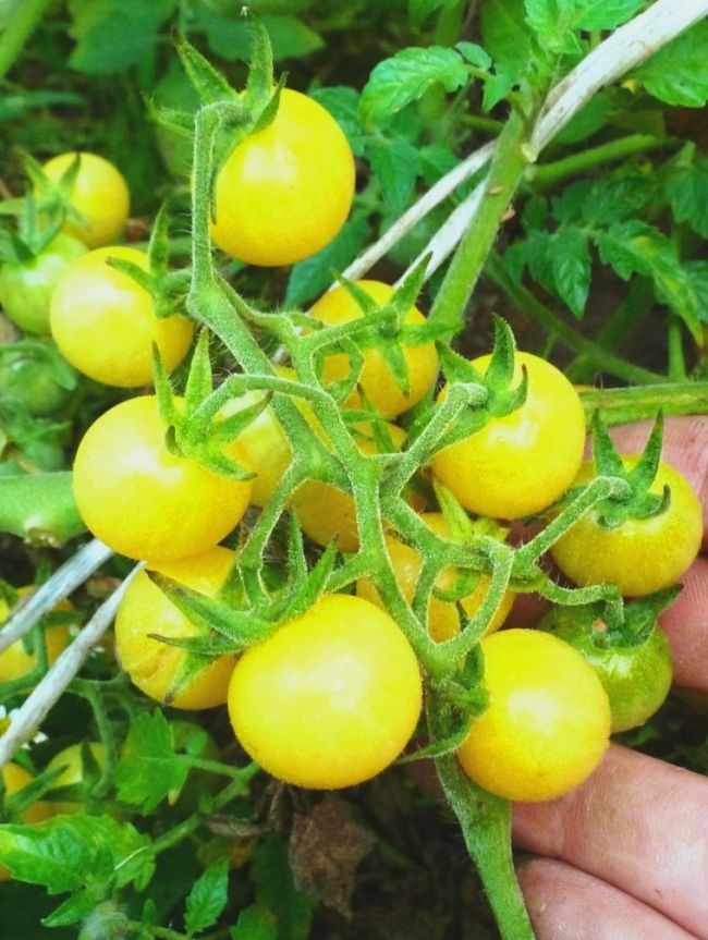Žuta sorte paradajza