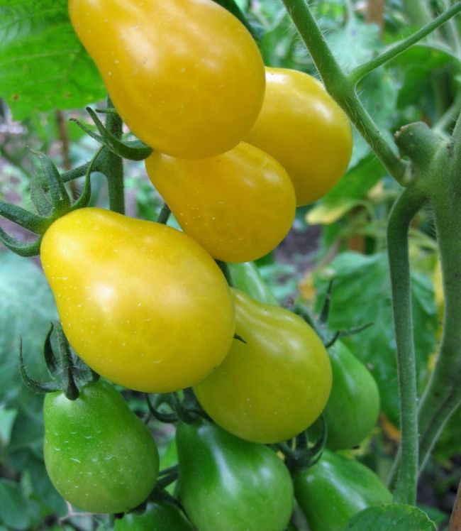 Pad med: paradajz sorte