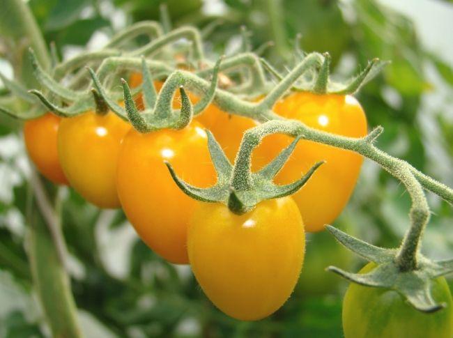 Žuta Datum: paradajz sorte