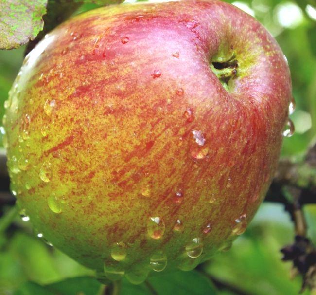 Razne zimske jabuke Jonathan