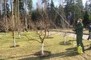 Опрыскиваем дерево раствором мочевины, чтобы уничтожить вредителей