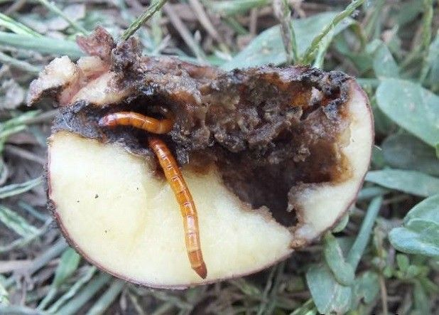 wireworms din cartofi