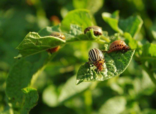 gândacului de Colorado