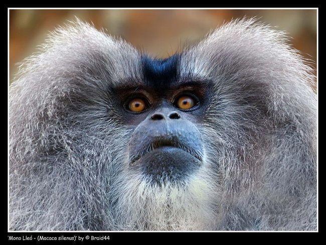 Lvinohvosty makaků, který je také známý jako silný nebo Vander - malá opice s sympatického lichikomi, černé nebo tmavě hnědé barvy z celkového