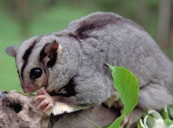 Mahagonija leti oposuma