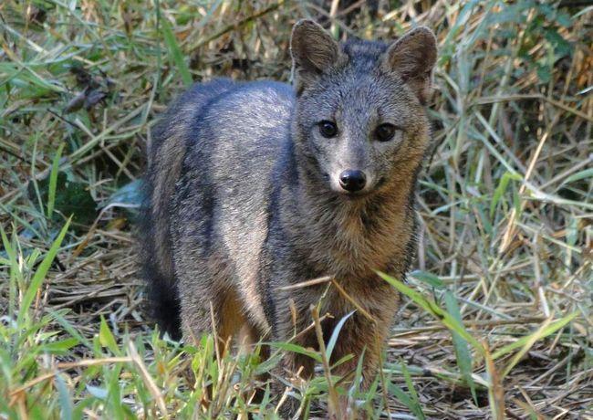 Rakova jede lisica (Cerdocyon hilj).