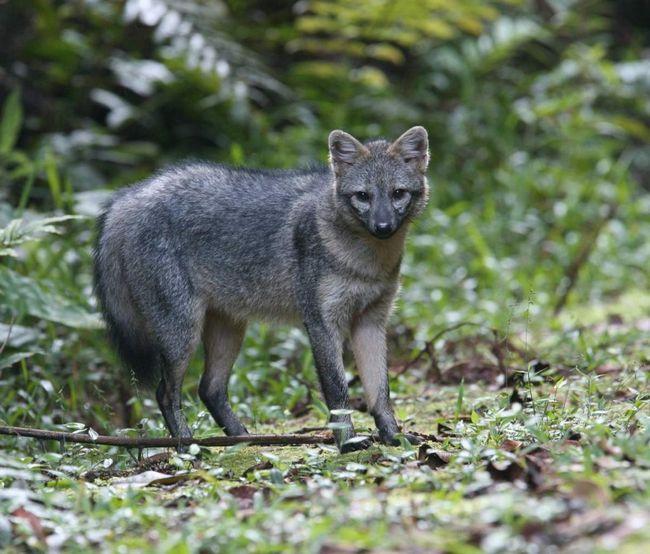Drugo ime za Fox rakova jede - lisica makaki.