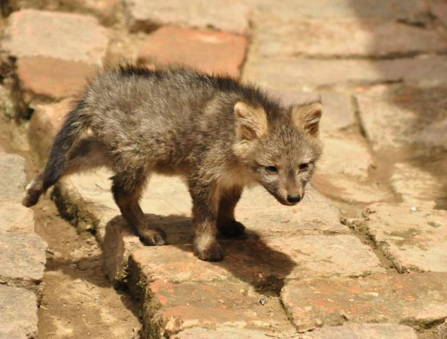 Rakova jede lisica štene.