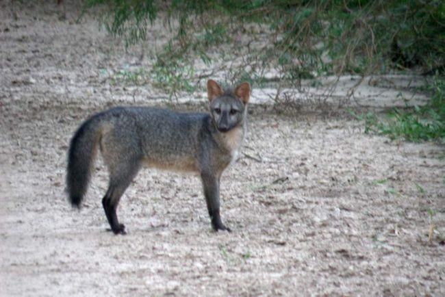 Rakova jede lisica živi u parovima.