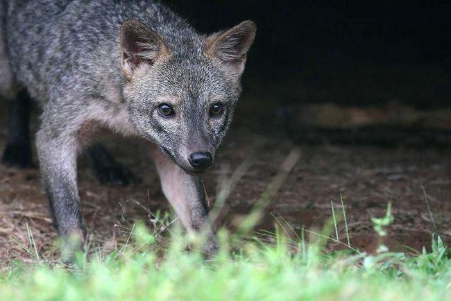 Rakova jede lisica živi oko 11 godina.