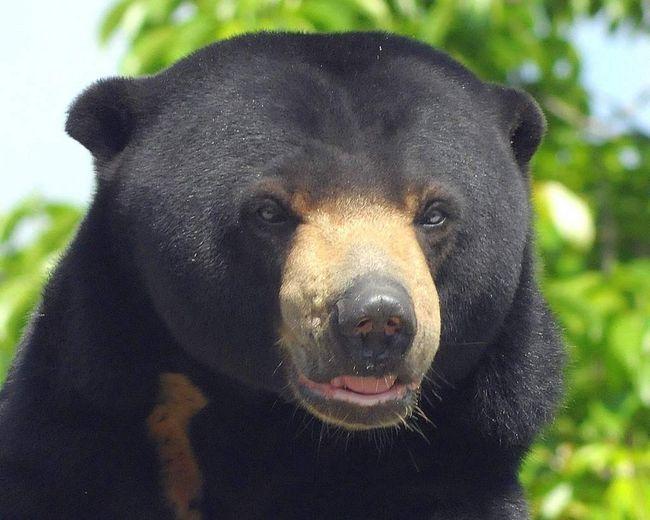 Biruang - Malajski medvjed