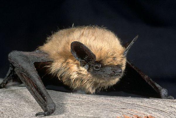 """Pálky netopýři rodu může """"dal"""" nás další SARS."""