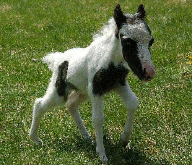 Einstein, najmanji konj na svijetu