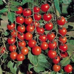 Маленькие помидоры черри сорта