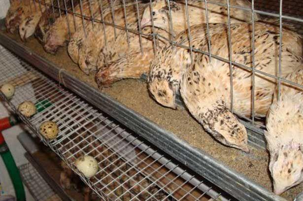 Manchu zlatý křepelka jíst z koryta